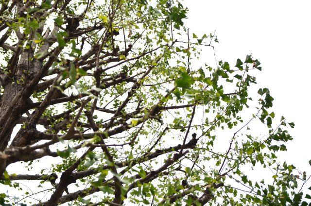所沢駅西口 イチョウの木 シンボルツリー